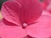 a-pink-flower